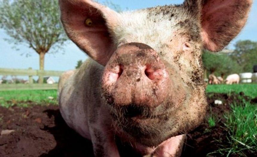 Varkensstal en kippenhok mogen niet meer stinken vanaf 1 september